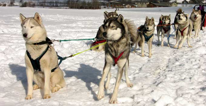 Races de chiens: Husky Sibérien