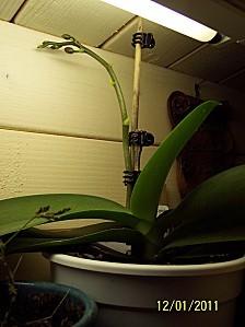 Orchidee-Phalaenopsis-2.JPG