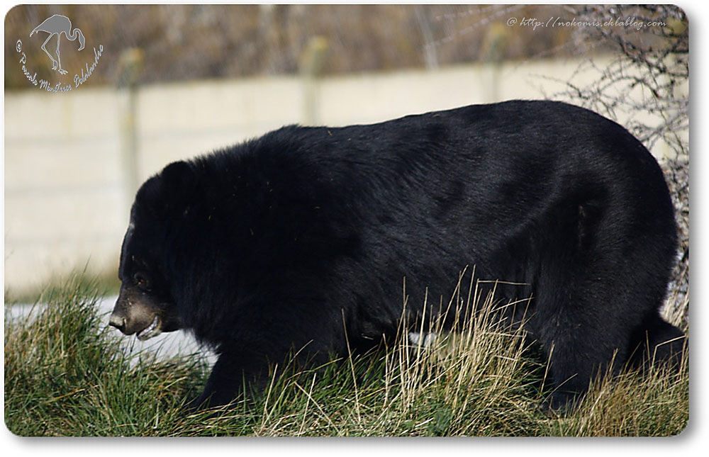L'ours du Tibet (ou ours à collier)