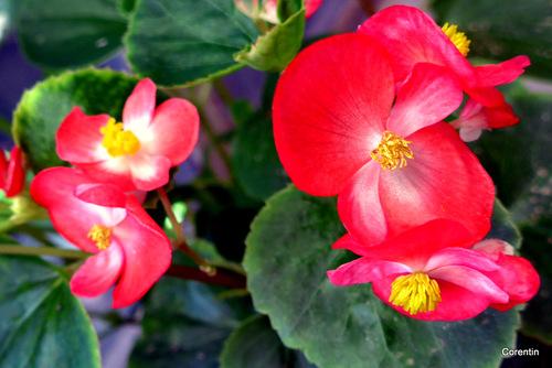 Mes bégonias en fleur