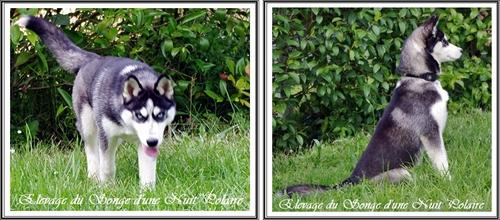 Réussir les photos de son Husky (29 juin 2013)