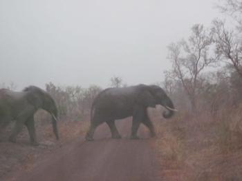 Bénin Parc de la Pendjari Eléphants sous la pluie