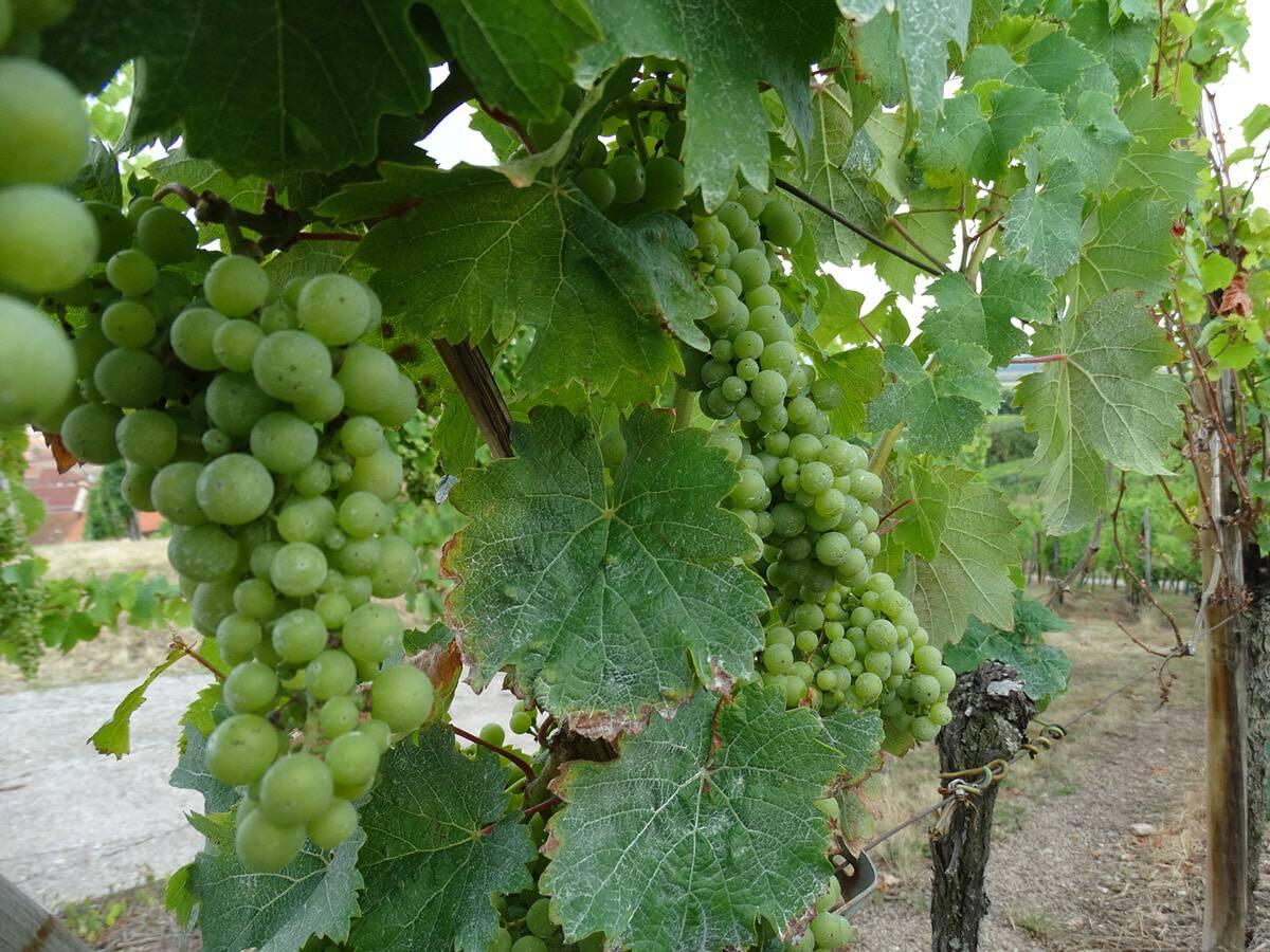 La Route des Vins : inaugurée en 1953, celle-ci court sur 170 kilomètres.