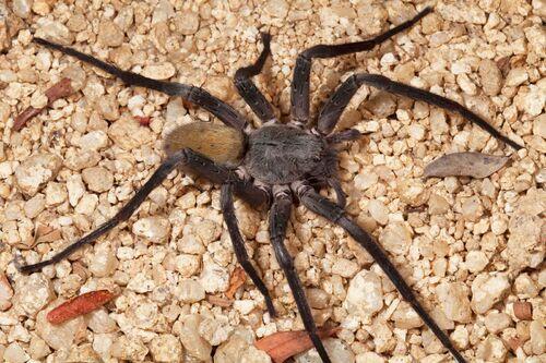 Une nouvelle espèce d'araignée géante découverte au Mexique