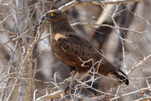 Brown snake eagle, not a shy one!