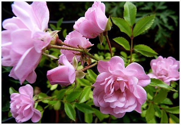 mon-petit-rosier-rose2012.jpg