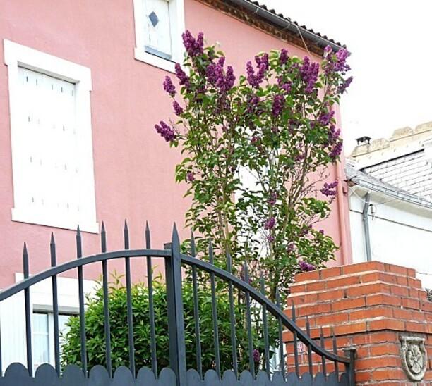 Lilas-rouge-sur-facade-rose--30-04-2010-011.jpg