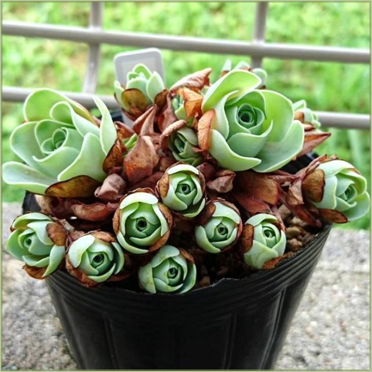 Rose succulente