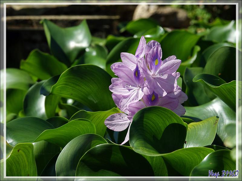 Jacinthe d'eau ou Camalote, Water hyacinth (Eichhornia crassipes) - Lartigau - Milhas - 31