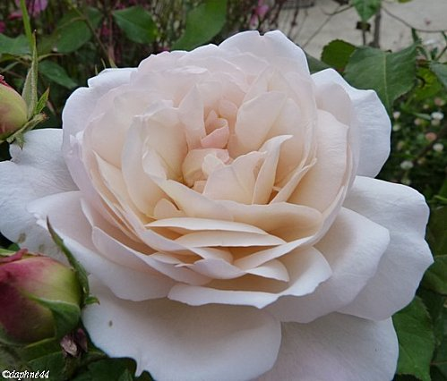 rose-de-clisson-rose-pale.jpg