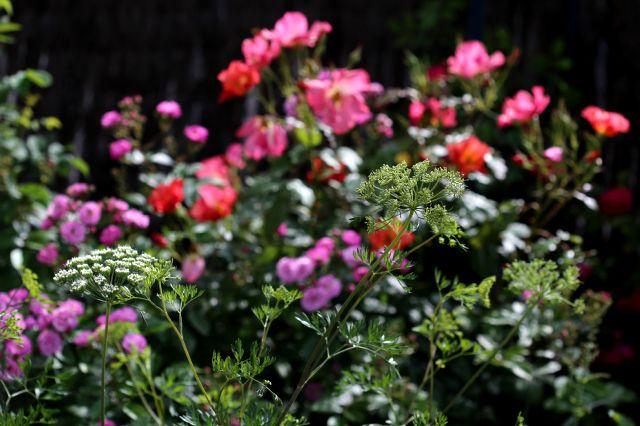 Des compagnes pour mes roses : Cenolophium denudatum
