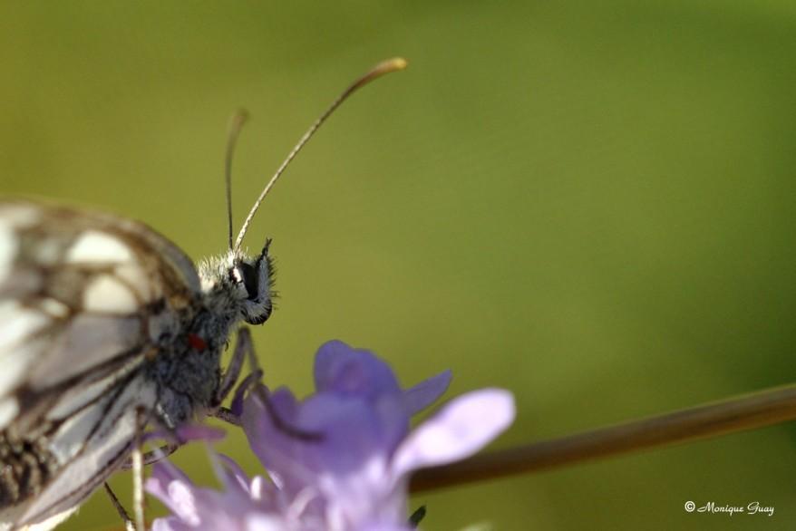 papillon-demi-deuil-1374.jpg