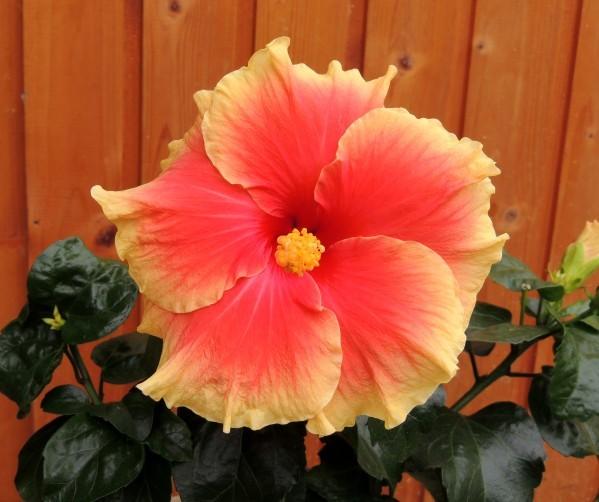 Hibiscus-rosa-sinensis.jpg