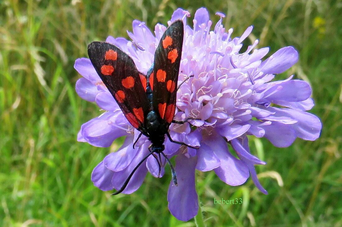 un papillon  : le Zygène  ?