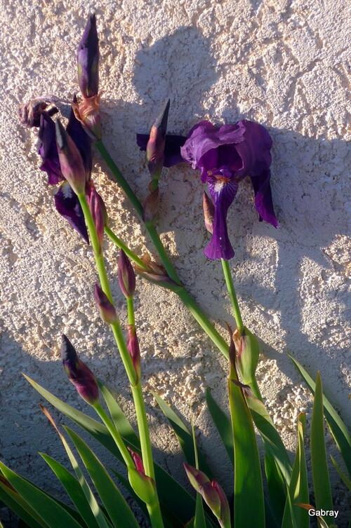 Les iris en fleur fin décembre !