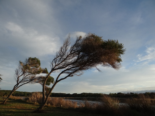 Arbres penchés par le vent