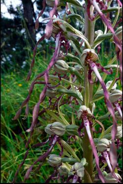 UNE ORCHIDÉE: Laroglosse bouc-Himantoglossum hircinum!