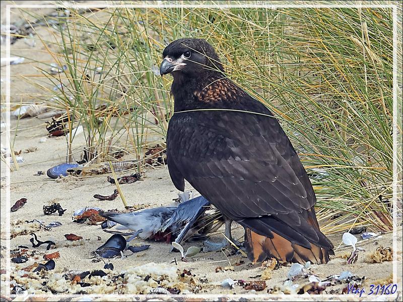 Caracara austral, Striated Caracara (Phalcoboenus australis) - Ship Harbour - New Island - Falkland (Malouines, Malvinas) - Grande-Bretagne