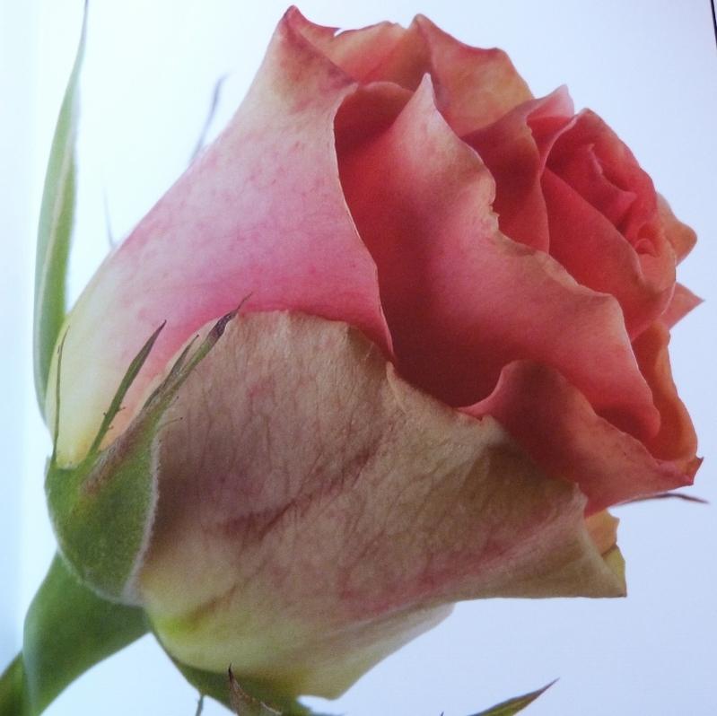 Roses de Fabio Petroni et Natalia Fedeli...
