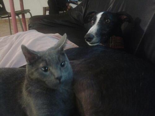 Les galgos et les chats
