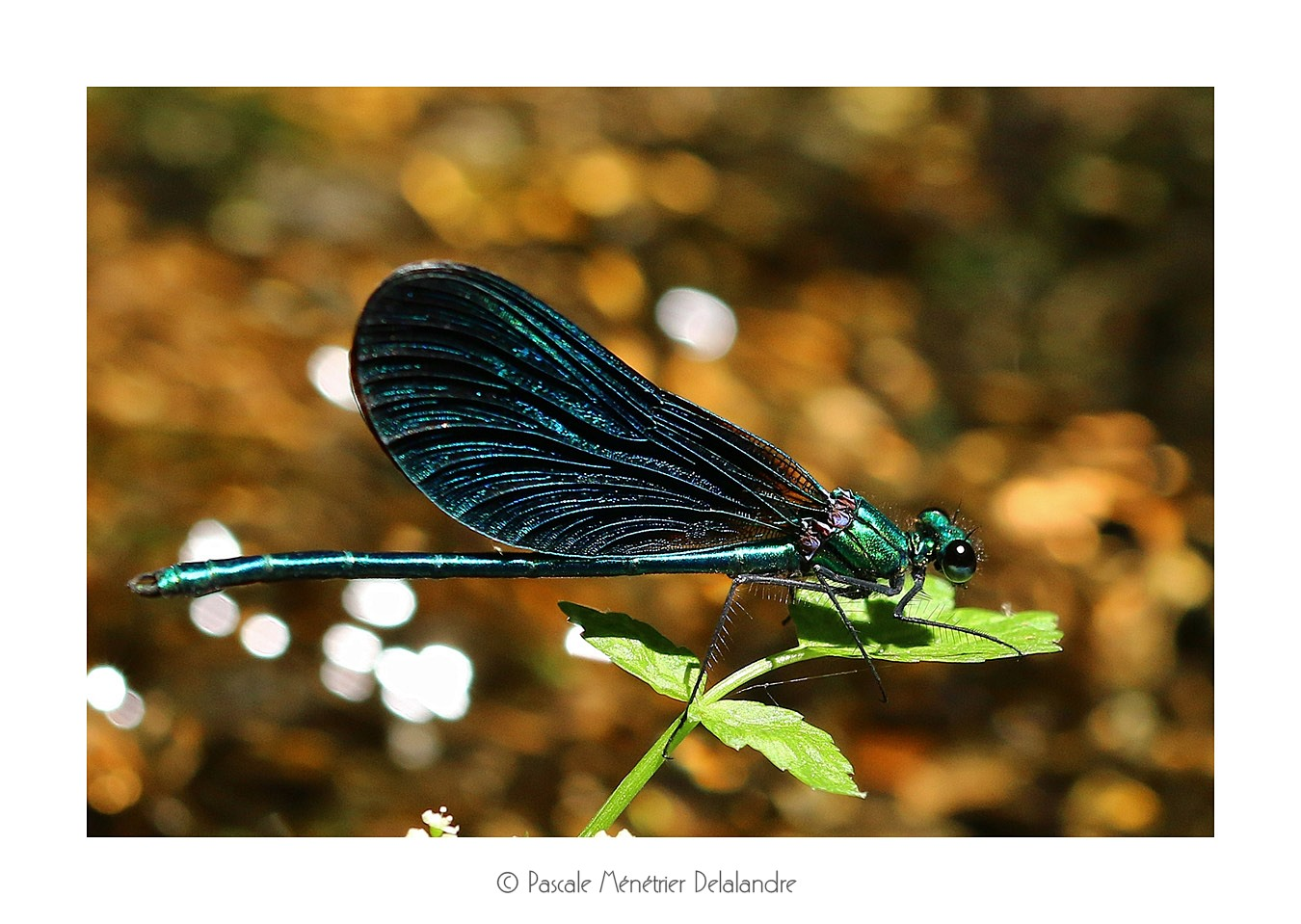 Calopteryx virgo ♂ (Caloptéryx vierge)