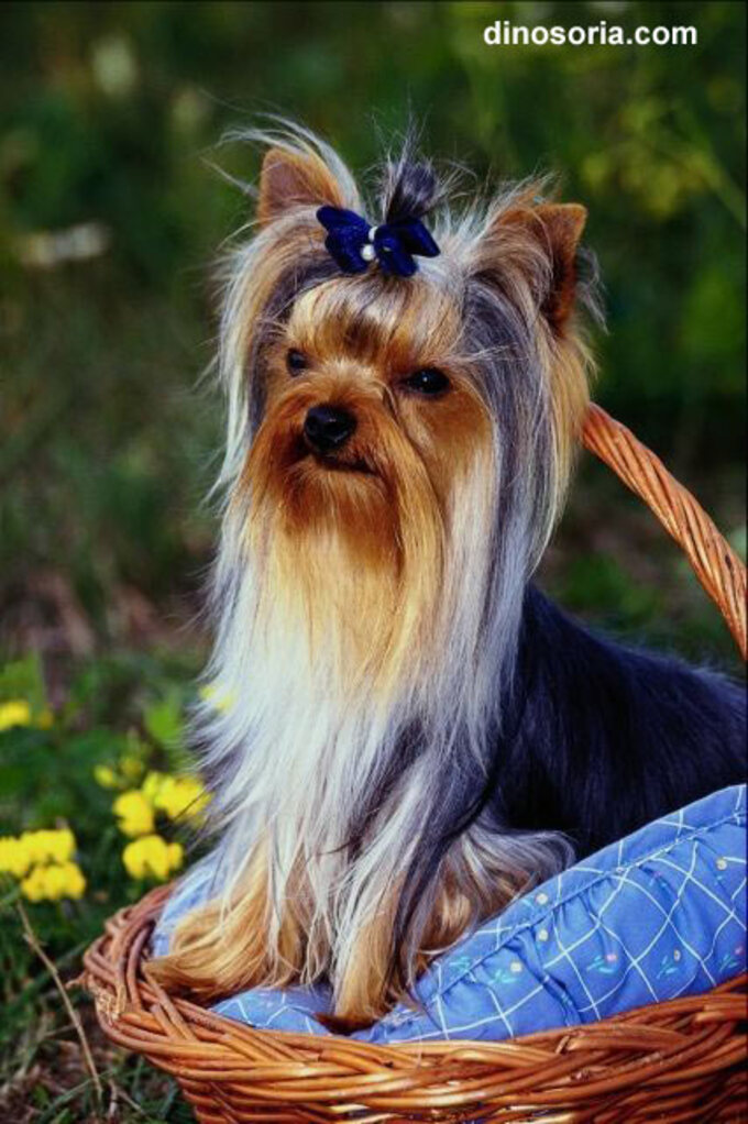 Races de Chiens:  Yorkshire terrier