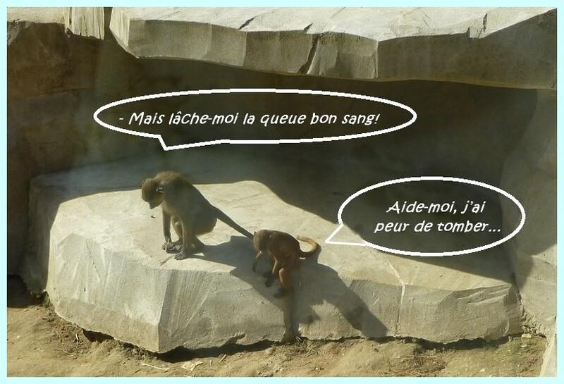 Les babouins de Guinée