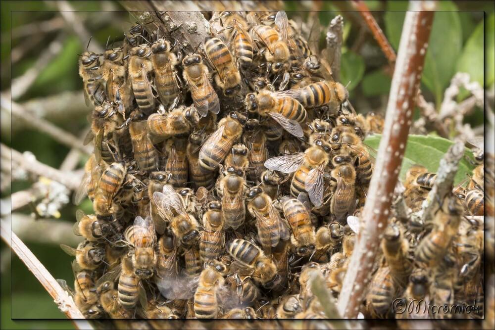 Un essaim d'abeilles dans mon forsythia. (1ère partie en photos)