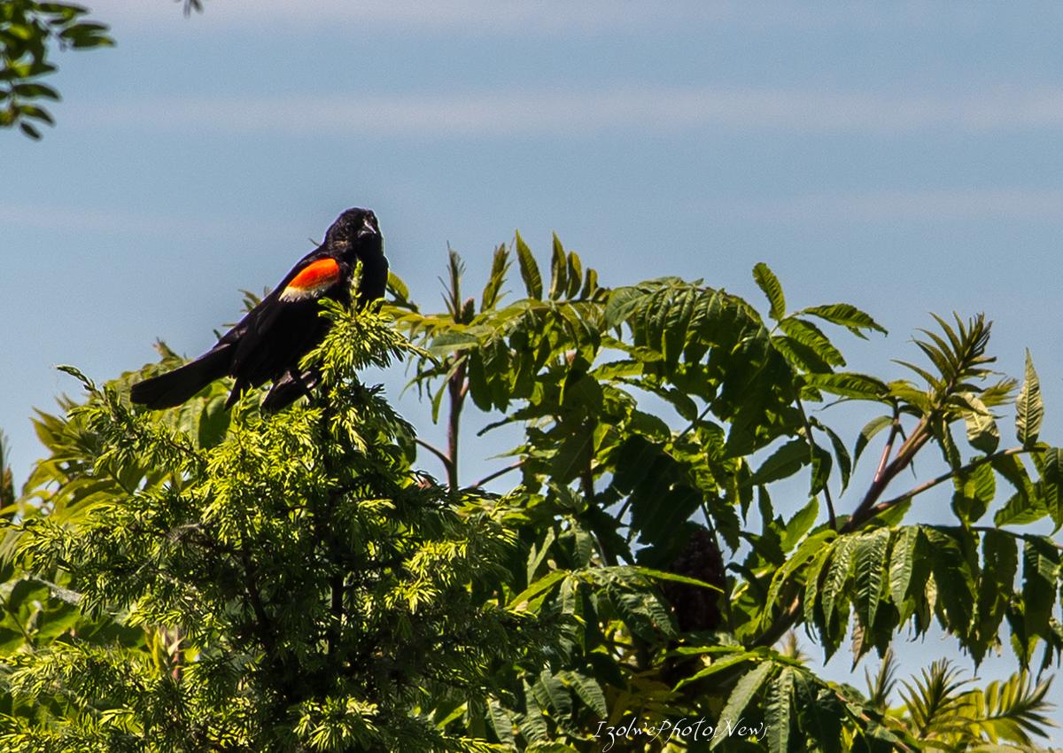 Oiseau d'ailleurs, Montréal: carouge à épaulettes