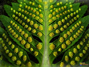 Fougère sans fleur - spores-visoflora-9394