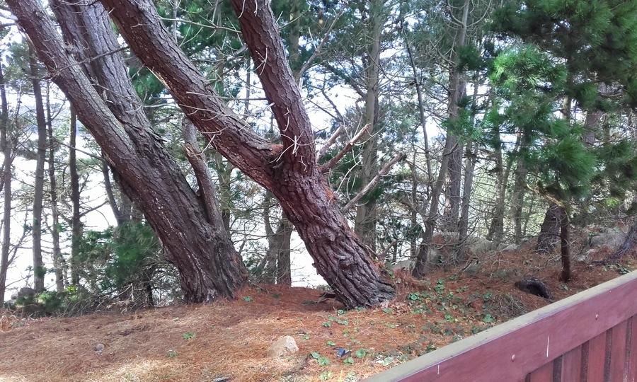 Dans l 'odeur des pins  ( suite )
