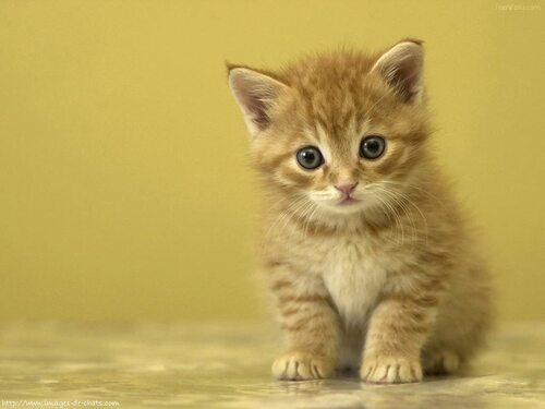 le chaton doré