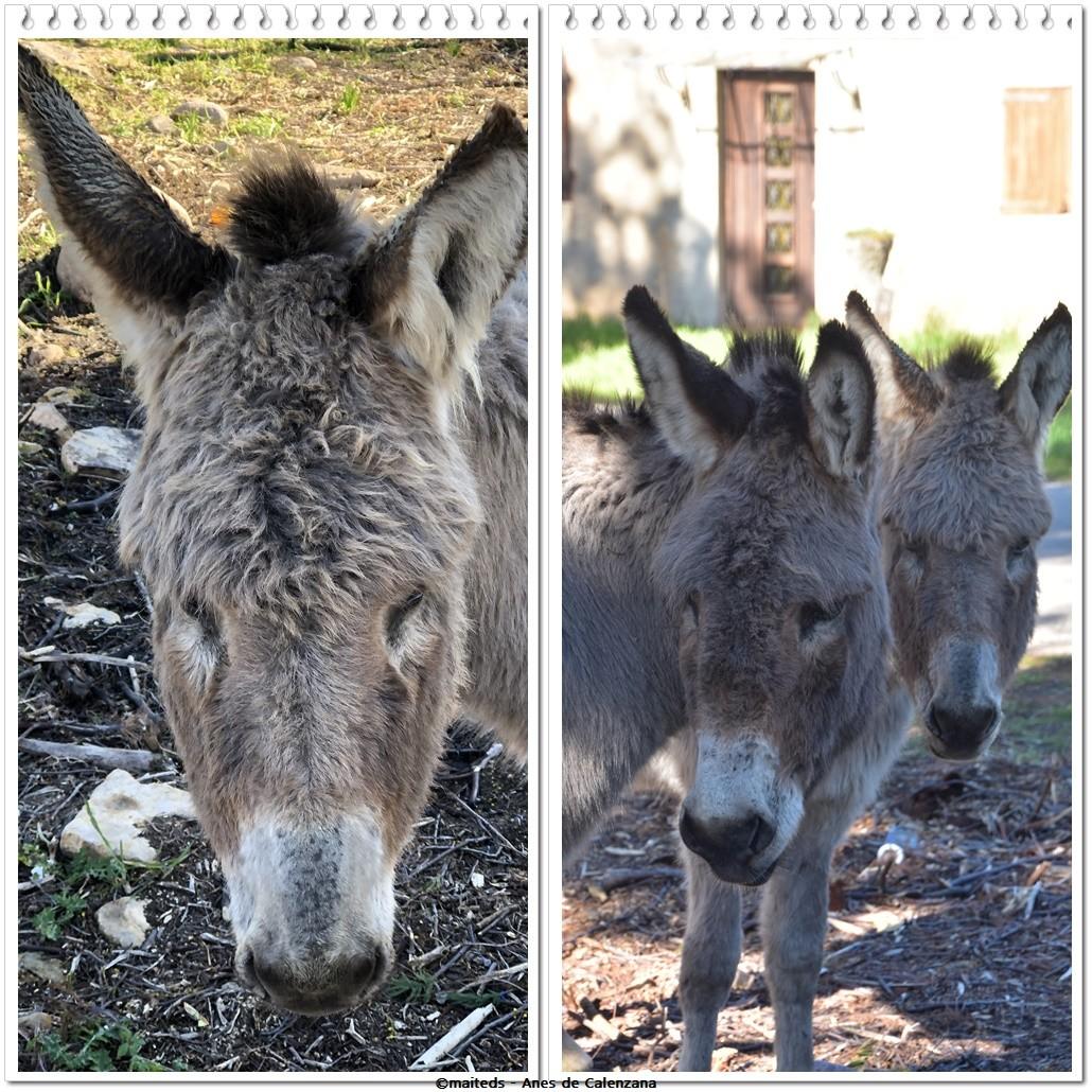 Les ânes de Calenzana