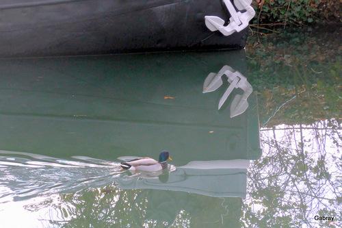 Canal du Midi: les canards
