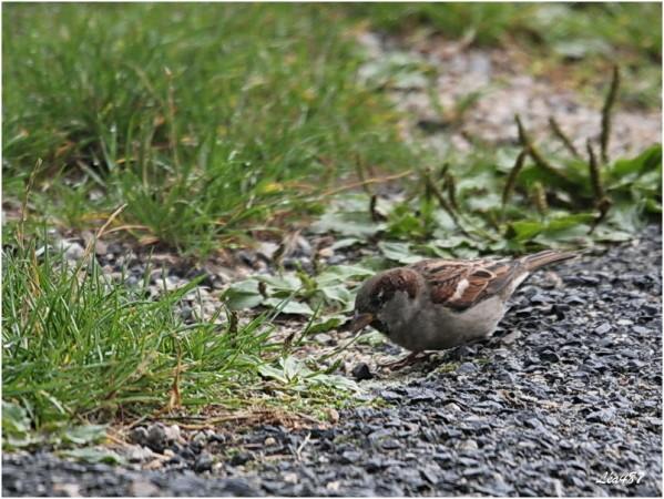Oiseaux-3-3179-Moineau.jpg
