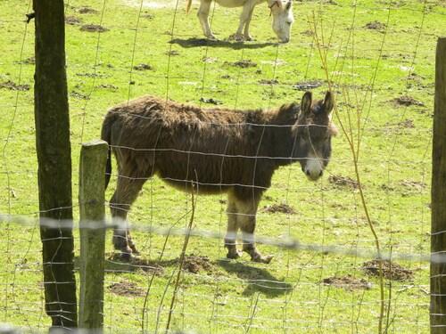 Daims, ânes et moutons