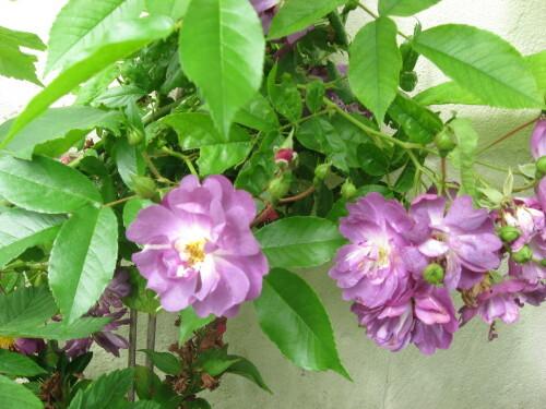 Mes-fleurs-et-le-potager-2154.JPG