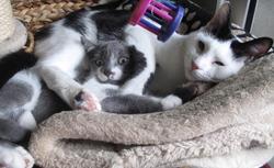 ADOPTEZ LADY HÉLIADE, une chatte qui a du chien (et du coeur) !!!