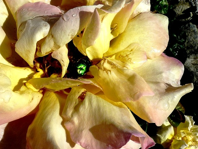 Les roses de Balazuc 11 Marc de Metz 20 07 2012