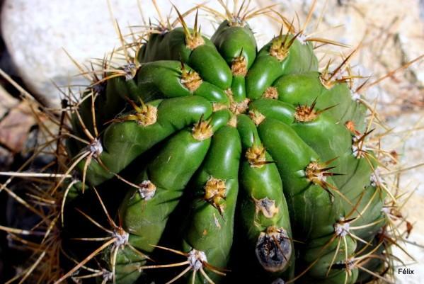 et03--Haut-de-cactus.JPG
