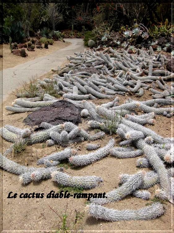 Cactus du diable