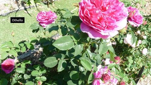 Juin et les roses