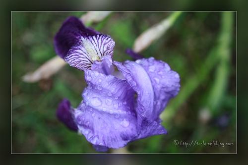 L'iris, la messagère des Dieux...