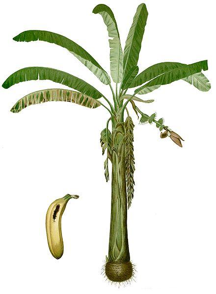 Banane Musa ×paradisiaca