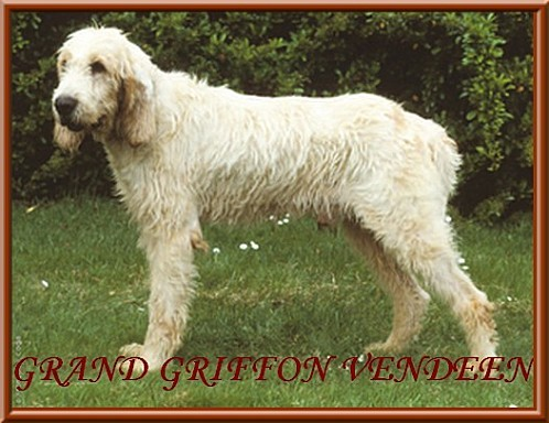 grand griffon vendeen 0001 phototheque