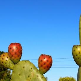 Opuntia Tomentosa - Les fruits