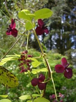 Floraison de l'Akébie