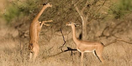 Gazelle de Waller