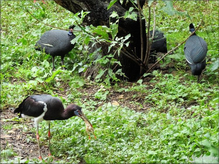 Cigogne d'Abdim (Zoo de Doué la Fontaine)