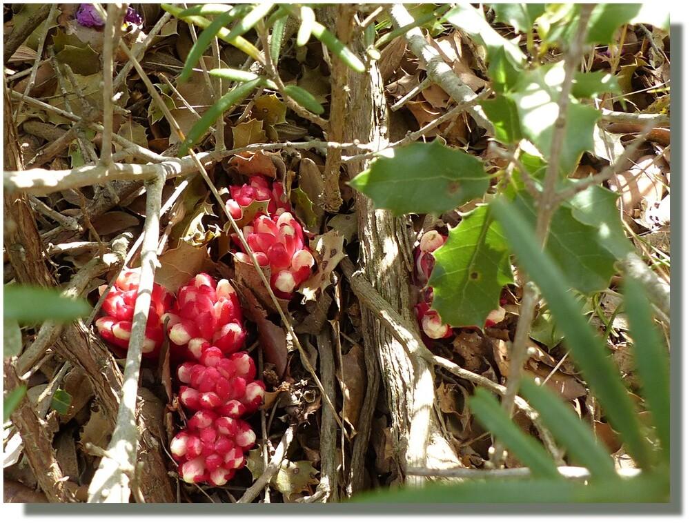 et les fleurs commencent à s'ouvrir...signature de l'environnement : des pétales de cistes...en rentrant j'ai demandé à mon ami Google-qui-sait-tout ce que c'était que ces radis fleuris, et voilà le cytinet nouveau (n'est repéré qu'en avril-juin au moment de la floraison) Bon, je continue de redescendre, car il faut remonter voir les jardins en terrasse de l'autre côté de l'abbaye ;-)) ;-)